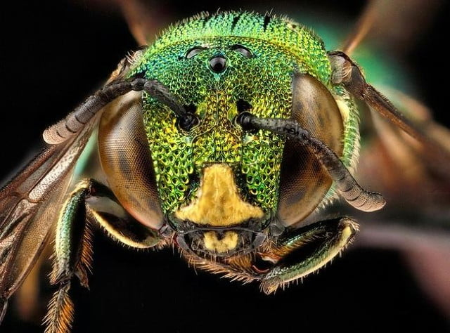 high resolution macro photos show amazing details bees wont cure fear bugs sam droge bee 8